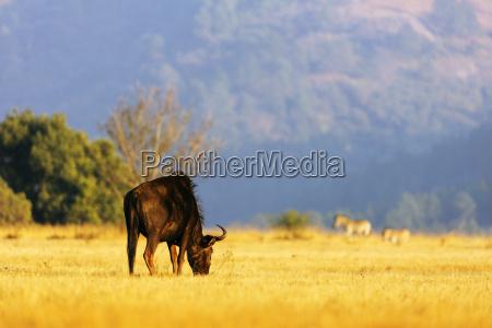 blue wildebeest connochaetes taurinus mlilwane wildlife
