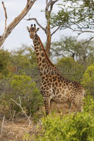 giraffe giraffa camelopardalis mkhaya game reserve