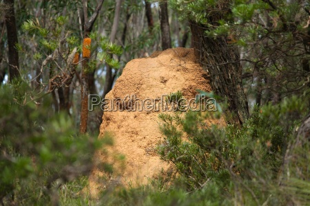 termite mound in the woods