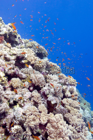 coral reef with exotic fishes in