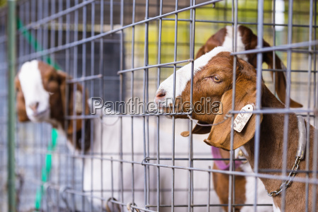 usa texas young boer goats in