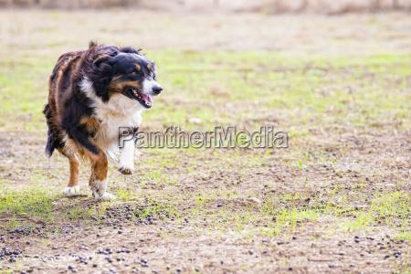usa texas running border collie dog