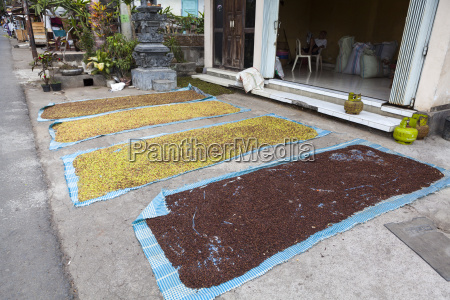 indonesia carnations designed to dry