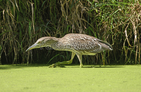 immature black crowned night heron stalking