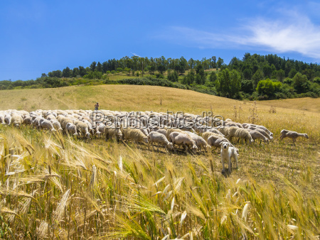 italy sicily region calascibetta shepherd and