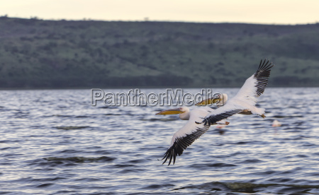 africa kenya view of white pelicans