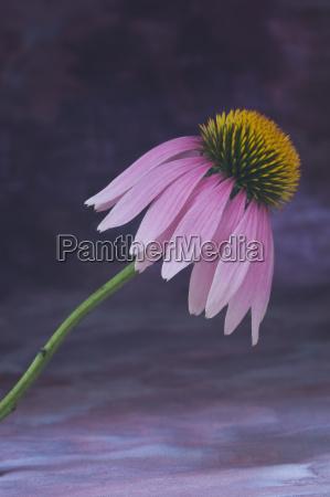 purple coneflower echinacea purpurea