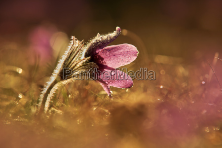 germany baden wuerttemberg pasque flower at