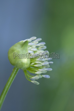 germany baden wurttemberg agapanthus close up