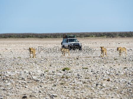 namibia okaukuejo etosha national park young