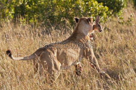 kenya lion runs away with bushbuck