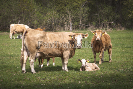 germany cows and calves on a