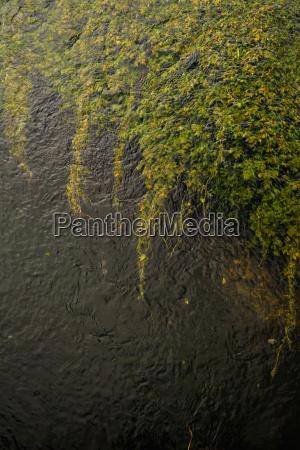 germany sigmaringen stream with aquatic plants