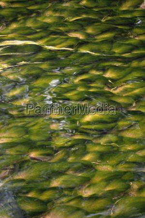 aquatic plants in a stream