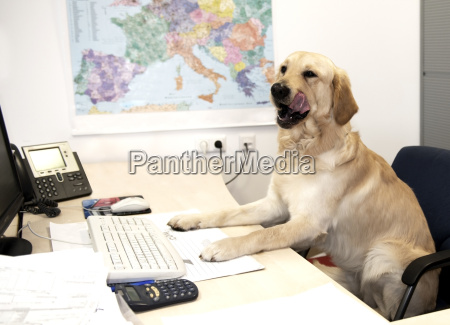 austria labrador sitting at desk in