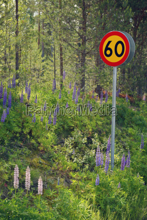 sweden mora wid lupines and road