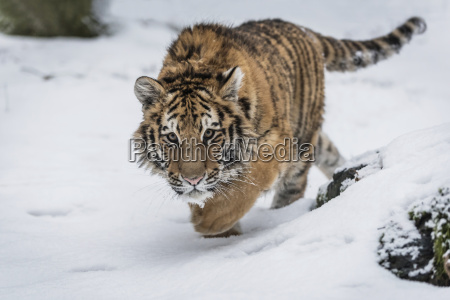 young siberian tiger prowling in snow