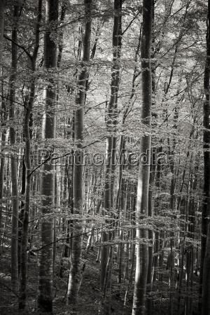 germany baden wuerttemberg beech forest
