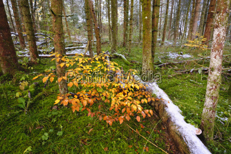 germany bavaria geretsried young beeches and