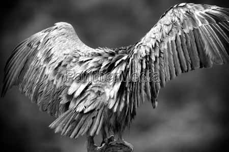 griffon vultures gyps fulvus spread wings