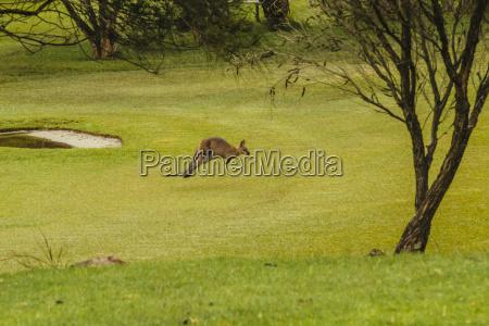 australia hawks nest kangoroo macropus giganteus