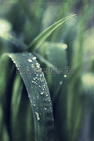 dew drops on leaves close up