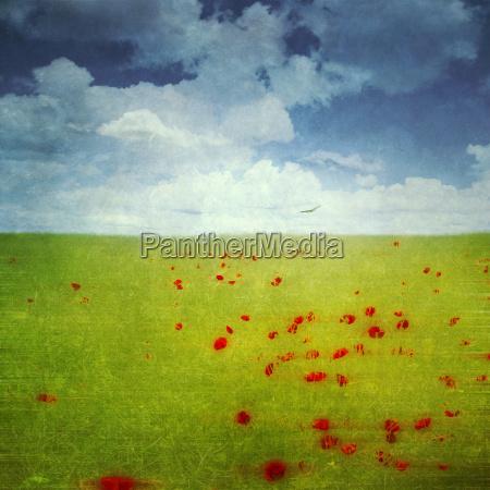 red poppies in a rape field