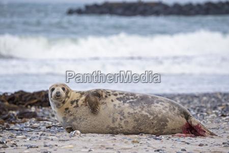 germany helgoland duene island grey seal