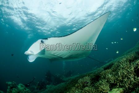 oceania micronesia yap reef manta ray