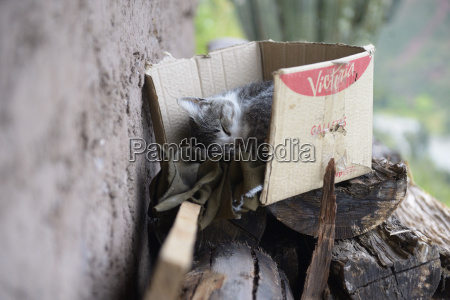 house cat felis silvestris catus sleeping