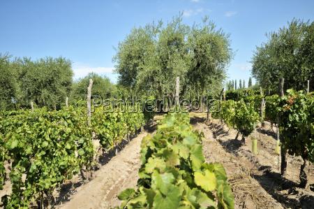 argentina mendoza province maipu grape variety