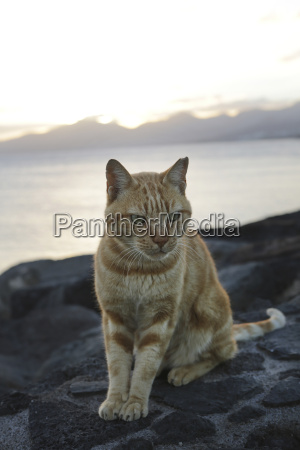 spain lanzarote ginger cat sitting on