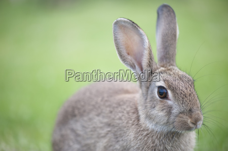 portrait of a rabbit oryctolagus cuniculus