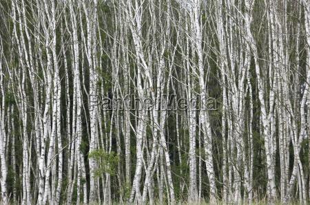 germany saxony birch trees in summer