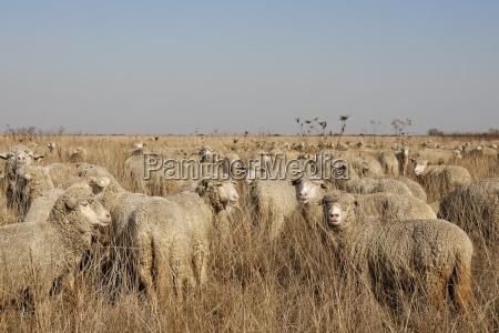 rumania transylvania salaj county flock of