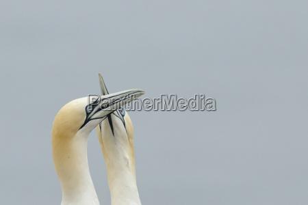 germany schleswig holstein hegoland northern gannets