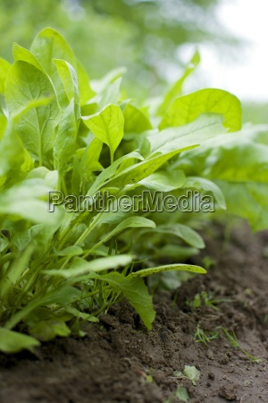 row of young spinach plants in