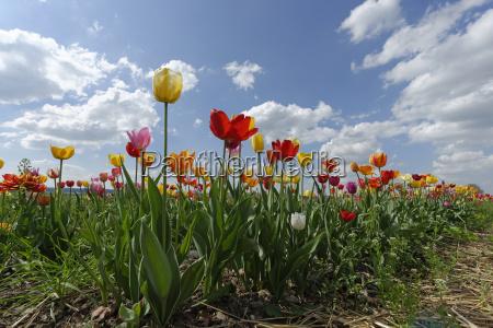 alemanha baviera flor do tulip no