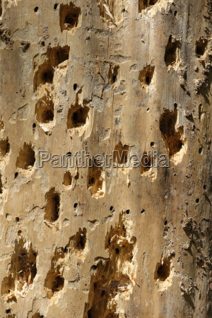 germany bavaria woodpecker holes on tree