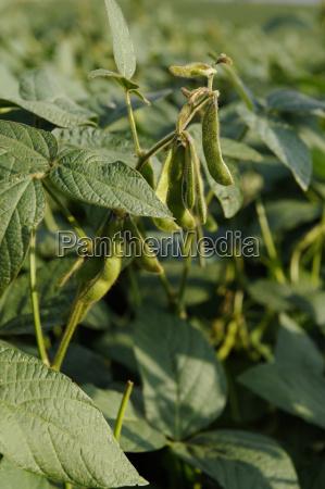 germany bavaria soybean field close up