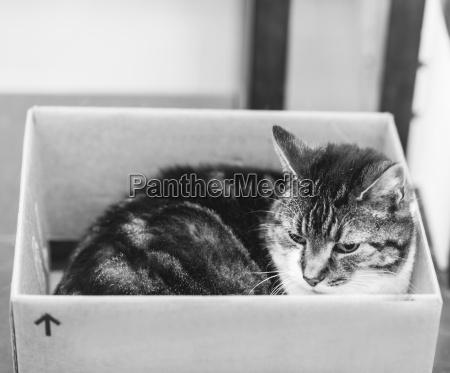 tabby cat inside cardboard box