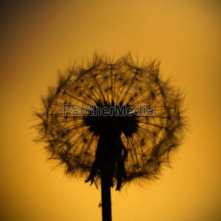 common dandelion taraxacum officinale in backlight