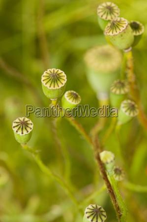 seed stem of corn poppy papaver