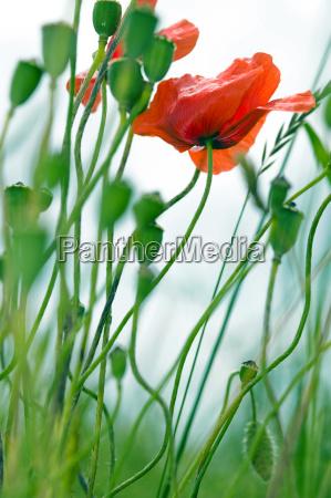 corn poppy flower papaver rhoeas