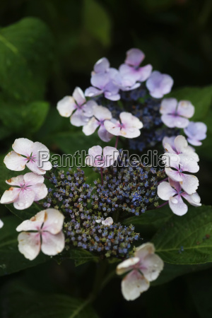 blossoming hydrangea in the late summer