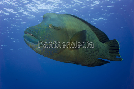 oceania palau napoleon fish cheilinus undulatus