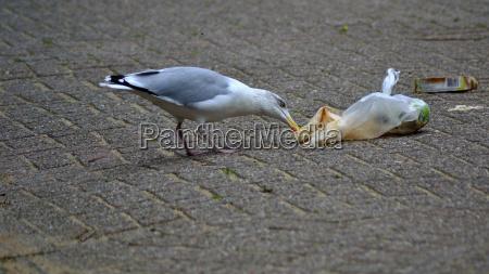 nerthlands herring gull ransacking trash