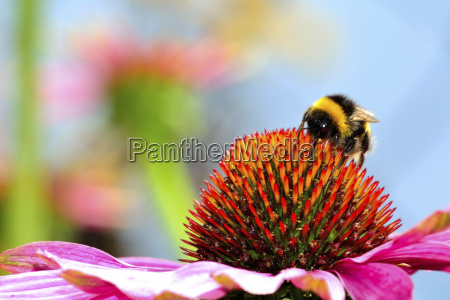 germany hesse bumblebee on purple coneflower