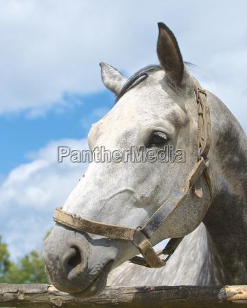 germany hesse dapple gray horse close