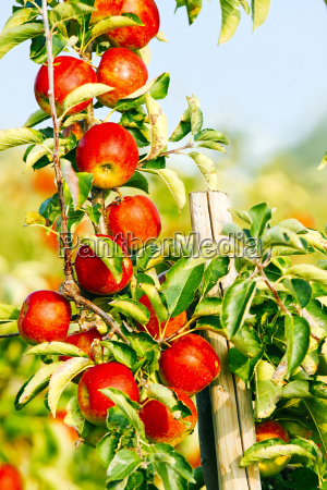 germany hamburg altes land ripe apples